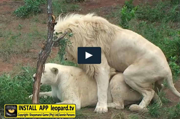 Reproduction by and the development of lions #science #leopardtv