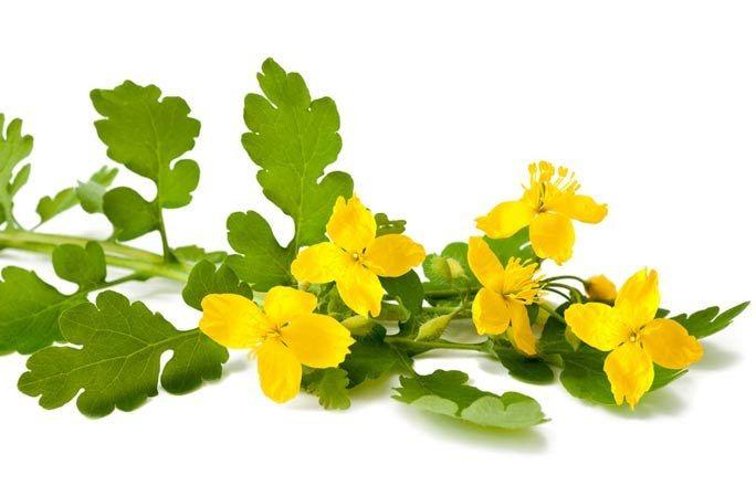 Des plantes qui soignent : La chélidoine contre les verrues - Utilisation des plantes: 1001 usages des plantes