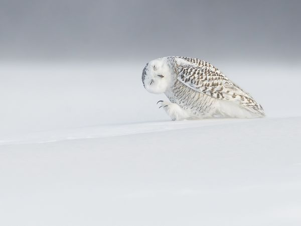 Picture of a snowy owl in the snow near Quebec City, Canada