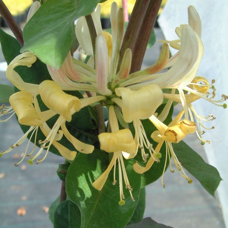 Lonicera periclymenum 39 heaven scent 39 english wild for Fast growing climbing plants for screening