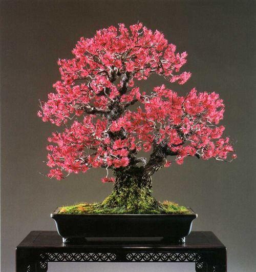 bonsaitoday:  Japanese Flowering Apricot Prunus Mume, Bonsai Today #94, Cover