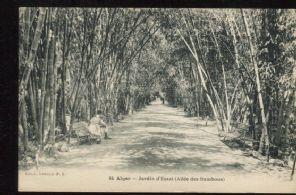 Coll Ideale P S Postcard, Alger, Jardin d´Essai (Allee des Bambous), 84