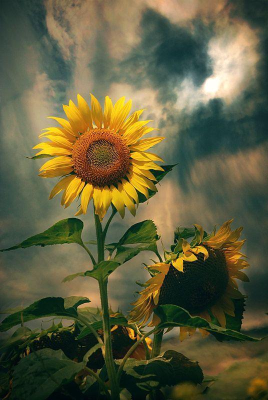 <3 Sunflowers <3