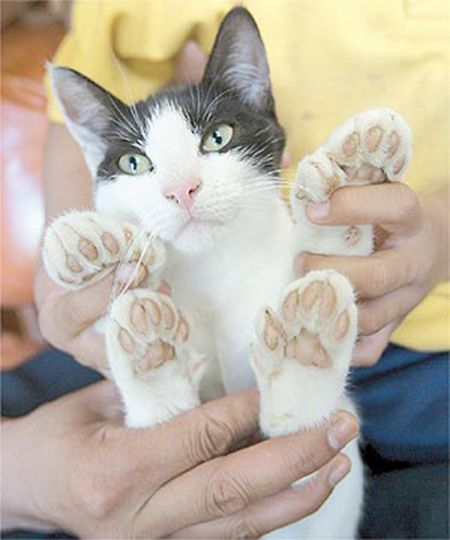 gato-polidactilia-almohadillas.jpg (450×540)