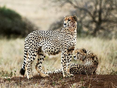 Cheetahs are adorable