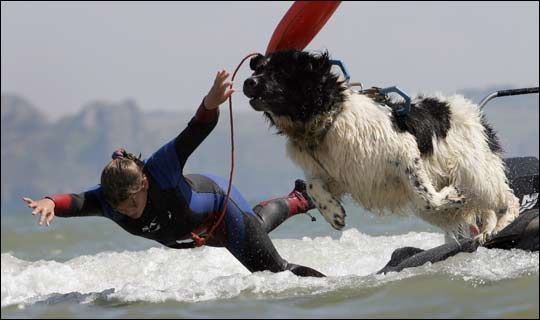 Ellie Bedford and her Landseer Whizz:  have been recruited as a double act for the Navy's volunteer rescue force in Swansea, South Wales.