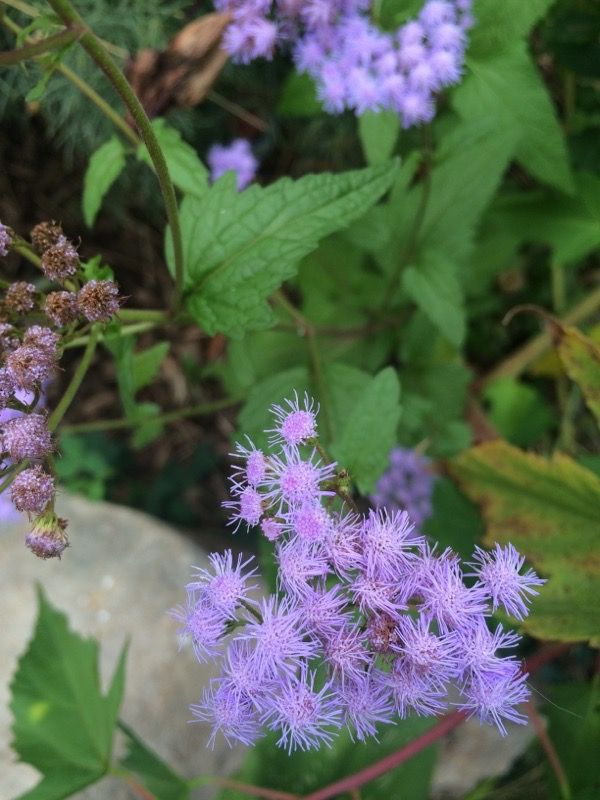 Bluemist Flower Hardy Ageratum Ageratum The Photo Appears To Be An Ageratum An Annual That Bears Petite Clusters Of Flowers Plants Wild Flowers Powder Puff