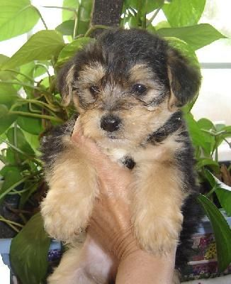 ... about Cute Puppies on Pinterest   Poodles, Yorkie and Image search