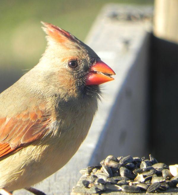 34 best Birds images on Pinterest | Backyard birds ...