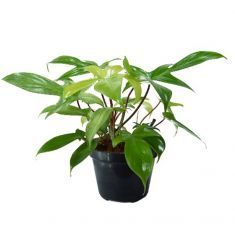 Philodendron Triple Rp 38,000