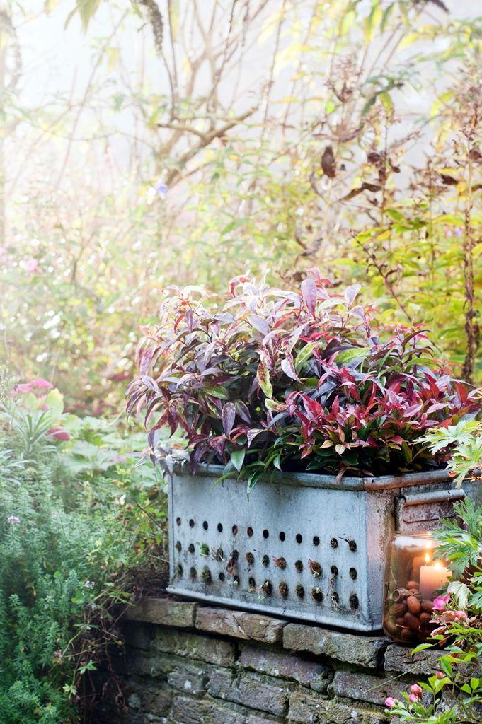 Groenblijver krijgt kleur Groenblijvers zijn tuinplanten die het hele jaar hun blad behouden en de tuin een permanent groene uitstraling geven. Dat wil niet zeggen dat groenblijvers niet kunnen verrassen. Een tuinplant als Leucothoe laat juist in het najaar zien hoe mooi hij is. De groene bladeren kleuren dan wijnrood. Oktober is een uitstekende maand …
