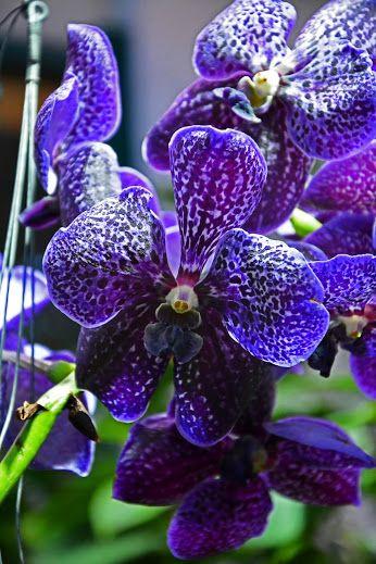 vanda  #orchid
