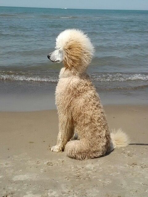 """#Poodle """"Beach time"""" - Coco"""