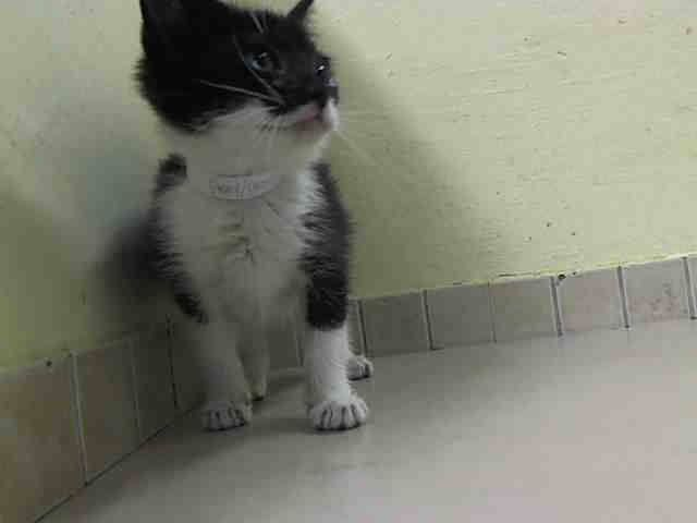 +++ SUPER #URGENT !! +++   2 B DESTROYED 2day Nov./3/2014  @ High- #KillShelter in #Manhattan Center #NYC #USA   >> PLEEZ HELP 2 SAFE A LIFE BY #ADOPTION or #SPREADING DA NEWZ << ♡♡♡ #WLF  My name is BUBBLES. My Animal ID # is A1019217. I am a female black and white domestic sh mix. The shelter thinks I am about 7 WEEKS old.  I came in the shelter as a STRAY on 10/30/2014 from NY 10467, owner surrender reason stated was STRAY.  MOST RECENT MEDICAL INFORMATION AND WEIGHT 10/31/2014 Exam Type…