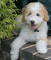 I'd love a Spanish water dog