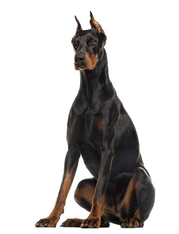 Doberman Pinscher Dogs Breed Information Omlet Doberman Pinscher Puppy Doberman Pinscher Natural Ears Doberman Puppy