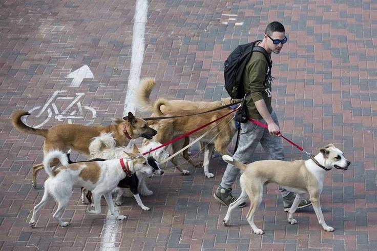 Cortar el rabo a los perros por motivos estéticos, una práctica común entre algunos cazadores, quedará prohibido, gracias a una enmienda aprobada hoy por la mayoría de los grupos del El Congreso pacta la prohibición de cortar el rabo a los perros por estética. Congreso en el debate en Comisión sobre la ratificación del Convenio europeo de protección de animales de compañía.