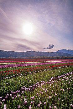 Art Calapatia - Rows of Tulips 3