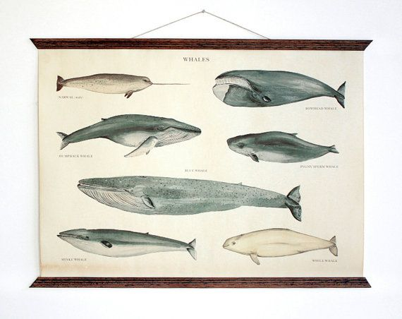 Whales - Vintage Educational Chart
