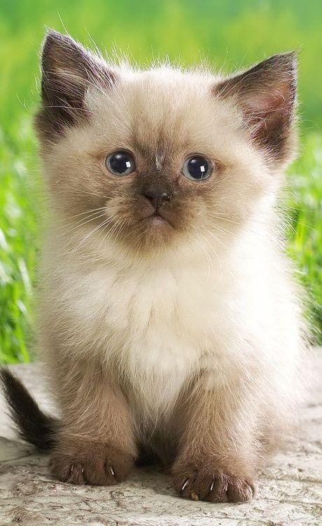 Himalayan kitten....your own little kitten Anna :)