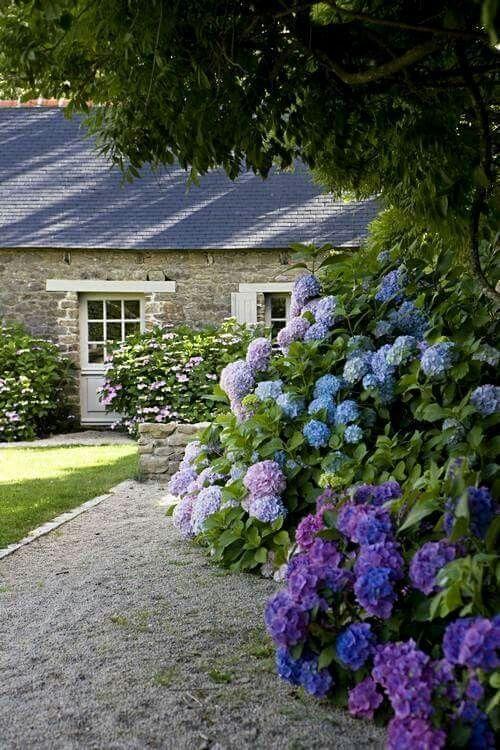 Irish hydrangea