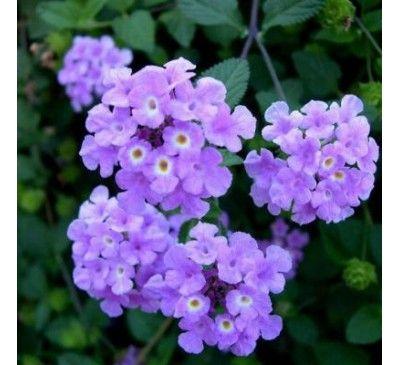 Lantana Purple199