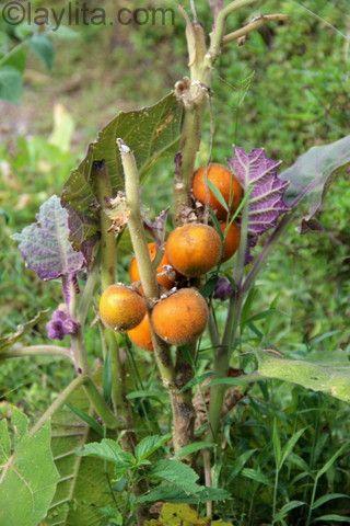 Naranjilla o lulo