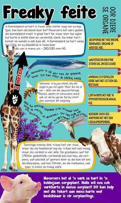Afrikaanse taakhulp: Freaky feite infografika oor diere. Kameelperd. Blouwalvis. Koei. Varke. Seesponse. Voëls. Lintwurms. Amoebas. Dolfyne. Walvisse. Seeanemone. Diere. Animals. Hoezit!