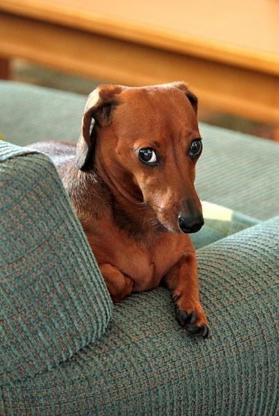Resultado de imagen para dachshund guilty