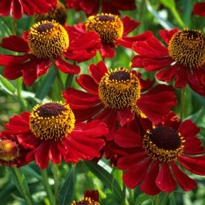 Helenium Rubinzwerg Best Helenium Plants To Buy Housetohome Co Uk