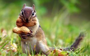 orava, pähkinät, syksy, ruoho, lehdet, eläin, söpö, lähikuva