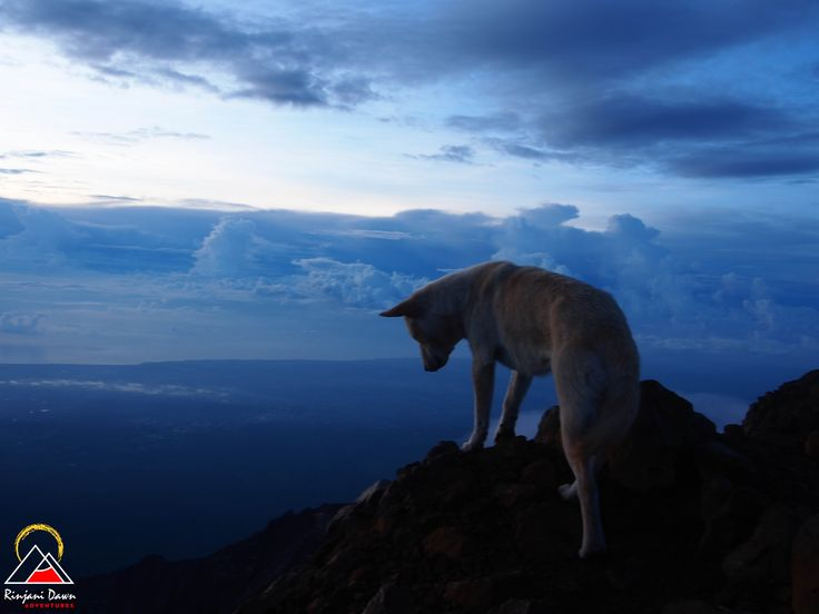 Putih looking over the precipice, on the summit of Mt Rinjani. www.rinjanidawnadventures.com