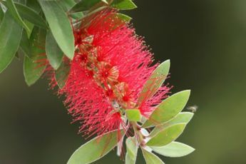 My Bottlebrush Won't Bloom: Tips For Getting Bottlebrush To Flower -  Sometimes, the common names of plants are spot on, and bottlebrush plants are a great example. These shrubs produce bright red flowers that look just like the brushes you use to clean bottles. If your plant isn't producing any of these flowers, this article will help.