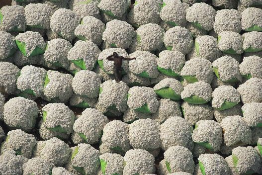 Worker resting on bales of cotton, Ivory Coast.