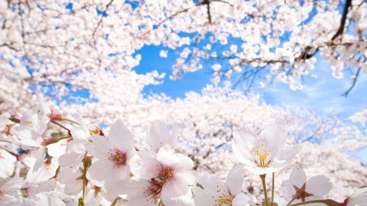 sakura flowers season