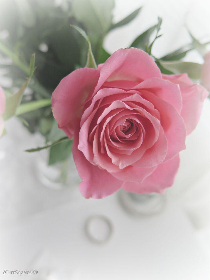 Pink rose, ruusu