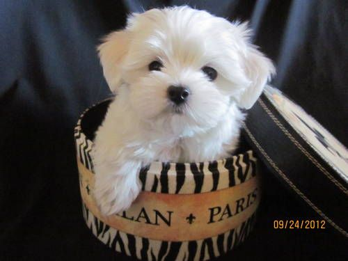 Maltese Puppies Males AKC Limited Baby doll faces Champion Bloodlines