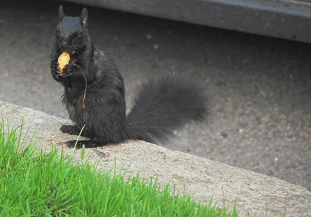Canadian Black Squirrel by Aramil Liadon, via Flickr