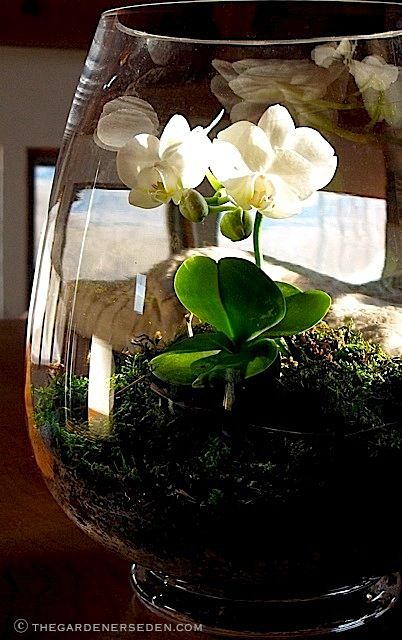 A tiny Phalaenopsis orchid, ('The White Moth'), displayed in an open terrarium lined with pea stone/charcoal mix, and filled with a bed of bark, sphagnum and sheet moss…