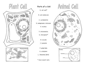 Animal And Plant Cell Diagram Not Labeled 5th Grade Science Cells On