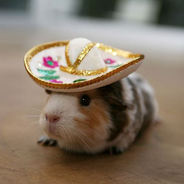 Happy Cinco De Mayo! There are no words to describe this how cute this is...a guinea pig wearing a sombrero! Ole