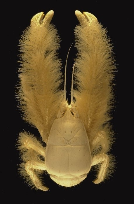 Yeti Crab (Kiwa hirsuta) The animal has strongly reduced ...