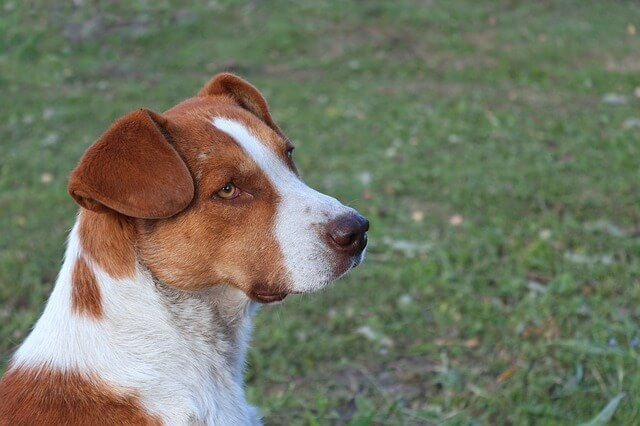 Dogs and Ear Infections