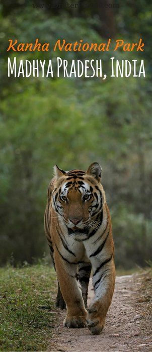 Tiger Safari in Kanha National Park in Madhya Pradesh, India