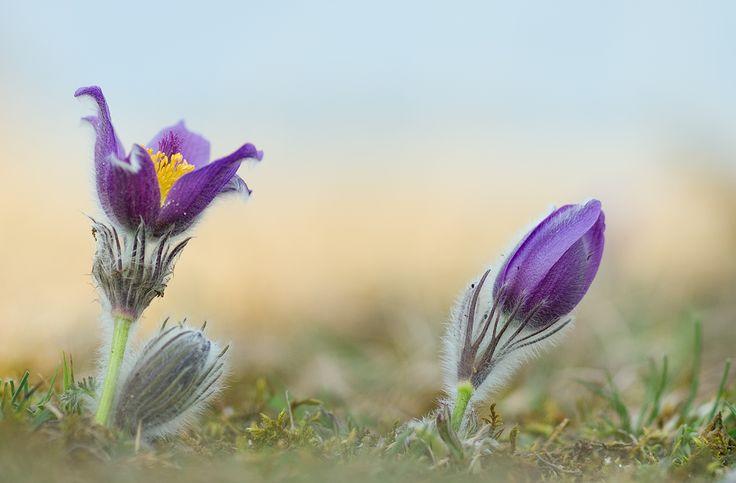 Blume Blumen frühblüher küchenschelle küchenschellen kuhschelle Pulsatilla vulgaris