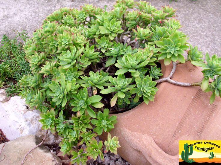 17 best images about sedum on pinterest caucasus mountains cactus and plants - Plantes grasses en pot ...