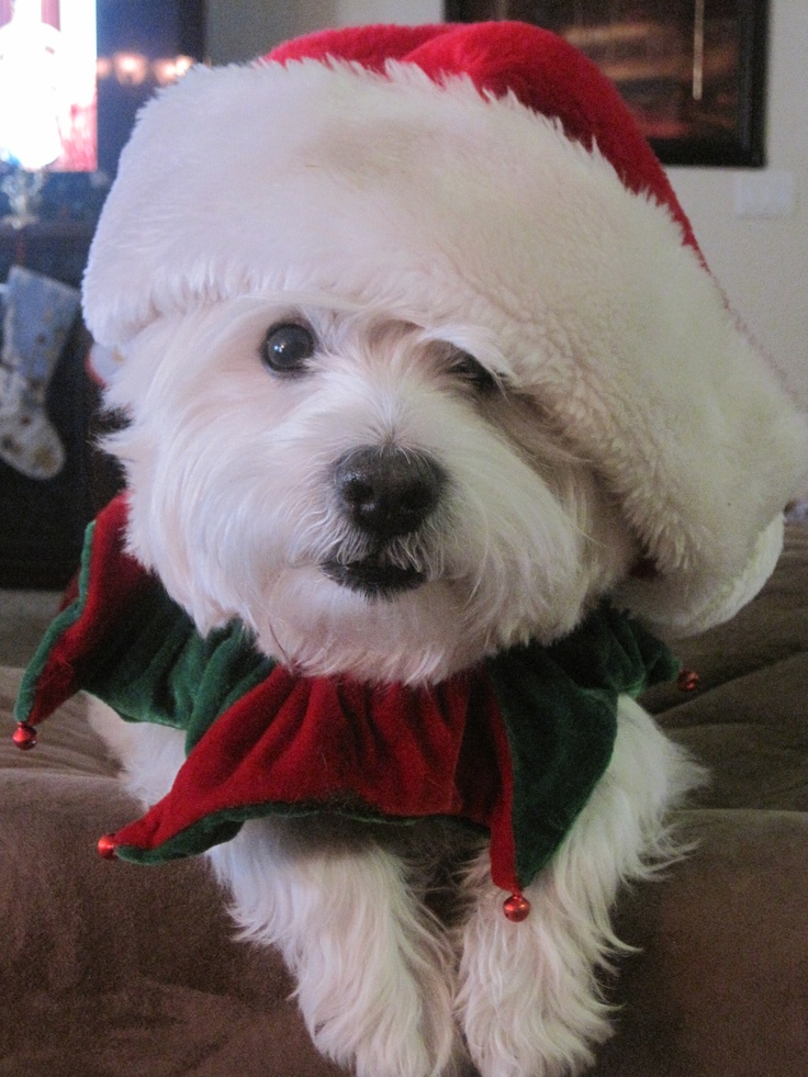 """Are you hiding presents?"" #dogs #pets #WestHighlandWhiteTerriers"