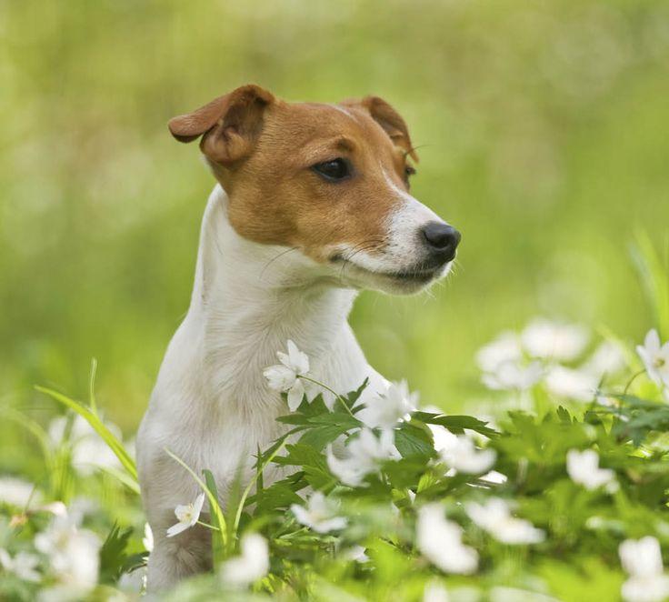 Hundar kan också utveckla pollenallergi. Symptom kan vara att det kliar i tassarna, rinnande ögon och allmän snörvlighet.