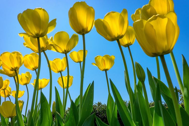 Yellow Tulips by Dominick Chiuchiolo
