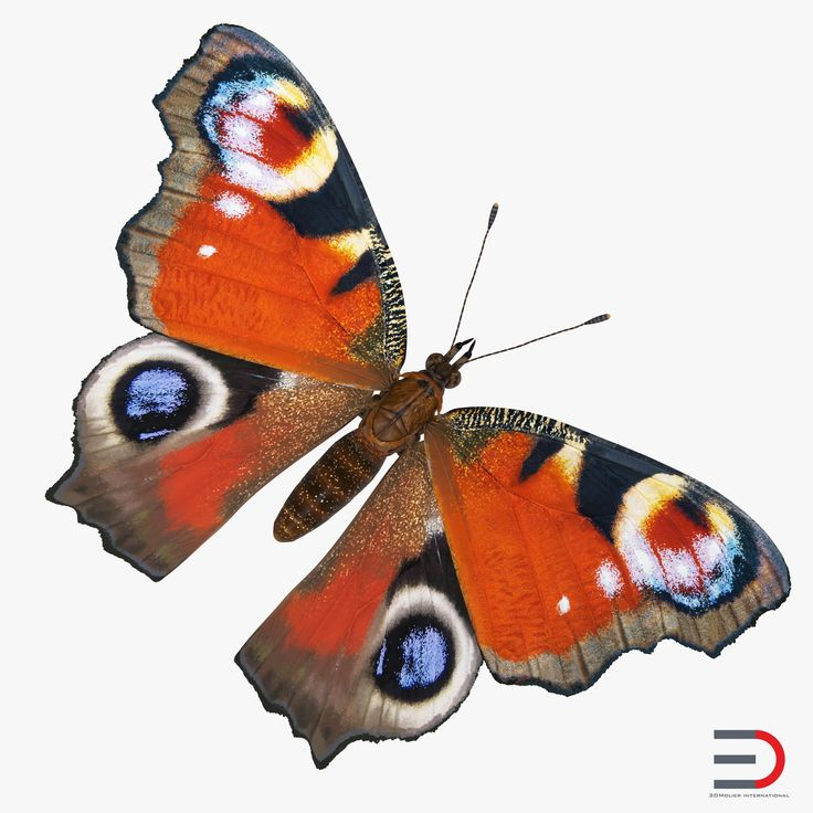 3D model Aglais io or European Peacock Butterfly